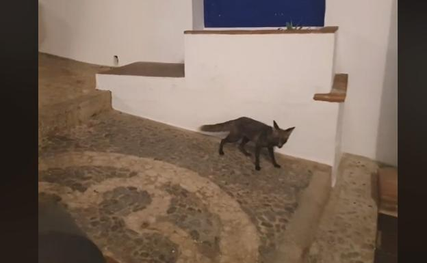A Fox in the streets of Frigiliana